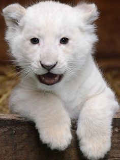 White lion at the Hertfordshire Wildlife Park in the UK