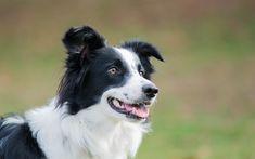 Télécharger fonds d'écran Border collie, blanc de noirs grand chien, animaux de compagnie, des chiens, des animaux mignons