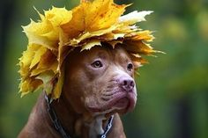 Pit Bull :) by becky