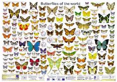 Butterflies are the 2nd leading pollinator to bees! They are very important and beautiful!