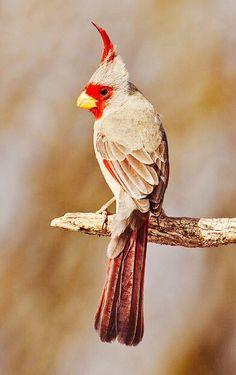 Mexican Cardinal