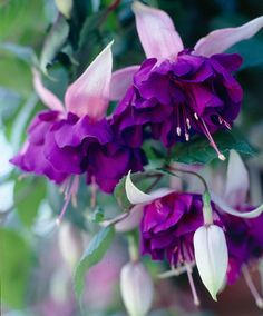 More on Fuchsia Plants for Hanging Baskets Types Of Purple Flowers, Exotic Flowers, Amazing Flowers, Beautiful Flowers, Fuchsia Plant, Fuchsia Flower, Plants For Hanging Baskets, Belle Plante, Flower Meanings