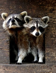 Little mischievous raccoons