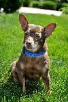 ADOPTED!Rollo - 6yr old male Dachshund/Chihuahua mix. Rollo LOVES belly rubs. He's a cool little guy. He is housetrained.
