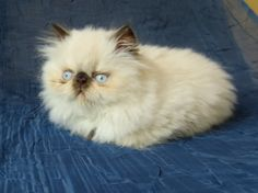 Himalayan kitten. Chocolate point male. Morning Light Farm
