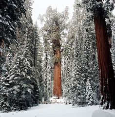 sequoia El Presidente The Presidente giant tree2