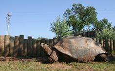 Reptile Gardens - South Dakota. I hope they don't do this anymore, but when I was here as a child, they would let people sit on these tortoises' to take pictures. I really hated to see that.