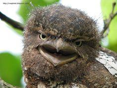 Juvenile Frogmouth