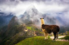 Llama looking over the ruins of the anceint Inca city of Machu Picchu, Peru - by Richard Bernabe, USA