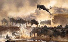Airborne Wildebeest  2014 Nat Geo Traveler Photo Contest