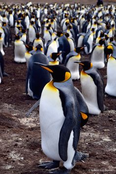 The King Penguins of the Falkland Islands // Brittany from Boston