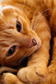 akiraneko:  orange cat by carlesnavarro on Flickr.