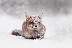 50 Shades Of White With A Touch Of Red: New Winter Foxes By Roeselien Raimond