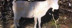 Bizau im Bregenzerwald: Geißerweg Moose Art, Horses, Videos, Animals, Homes, Animales, Animaux, Animal, Animais