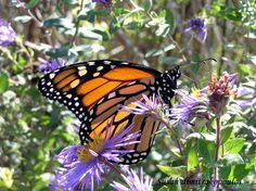 Monarch Butterfly  greeting card by Skybird111FineArt on Etsy, $3.99