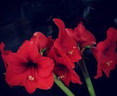 Still blooming  #amaryllis #joulunaika #xmastime #xmasflowers #redisred #petitejoys #flowerpower #flowerstagram #flowerlovers #lifestyleblogger #nelkytplusblogit #åblogit #ladyofthemess