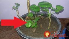 Toto na ne platí, ako zákon: Dlhoroční pestovatelia poradili, ako mať muškáty obsypané kvetmi až do jesene! Terrarium, Gardening, Plants, Decor, Balcony, Terrariums, Decoration, Lawn And Garden, Plant