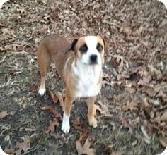 Willingboro, NJ - Feist Mix. Meet Little Bit, a dog for adoption. http://www.adoptapet.com/pet/12213717-willingboro-new-jersey-feist-mix