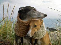 Fico feliz em saber que há pessoas que cuidam bem de Galgos, como estes na foto.