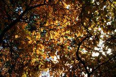 Golden Glow  #WinkworthArboretum  November 2016 https://uk.pinterest.com/annbri/