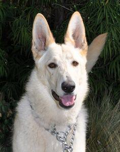 Britta from German Shepherd Rescue of Orange County
