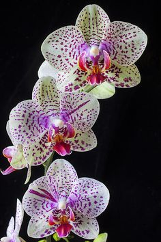 ~~ Three orchids ~~