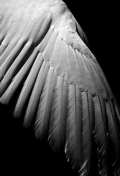 Wings of Desire by The Green Album, via Flickr swan wing...
