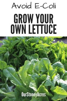 your own Lettuce Avoid the E-Coli outbreak by learning to Grow Your Own Lettuce in your vegetable garden.Avoid the E-Coli outbreak by learning to Grow Your Own Lettuce in your vegetable garden. Vegetable Garden Planner, Backyard Vegetable Gardens, Vegetable Ideas, Backyard Farming, Organic Vegetables, Growing Vegetables, Growing Lettuce, Natural, Organic Gardening Tips