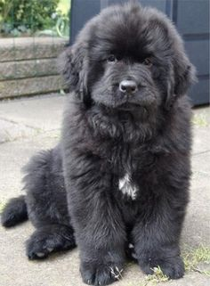 Beautiful Newfoundland puppy One day this will be mine. and her name will be Ras Al Guhl