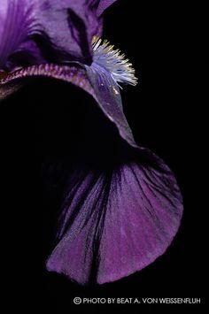 """beat a. von weissenfluh ; fine art photography """" flowers """" #bvwphoto #BeatAvonWeissenfluh #fineartphotography"""