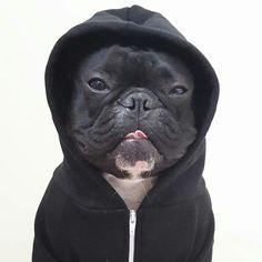 Ninja, the French Bulldog, @frenchie_ninja ❤☻ on instagram.