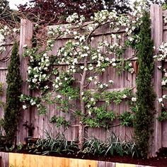 Espalier pour décorer pare-vue  (trees save space)