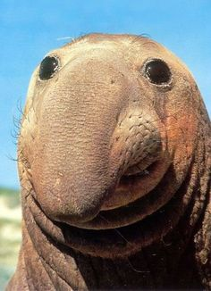 Don't hate me because I'm beautiful. Elephant seal.