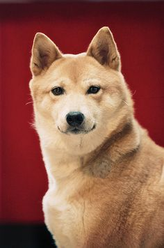 Shiba Inu: Loyal, loving, stubborn and will love and protect you forever!