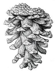Image result for pine cone drawing