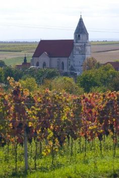 vineyard, Hnanice, Czech Republic