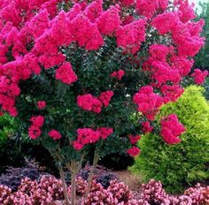Pink Velour Crape Myrtles™ -  an impressive ornamental colorful tree, makes beautiful privacy screens, blooms that last for months. More sun, more blooms. Grows to 8 feet. Mildew resistant and drought tolerant, easy care plant.