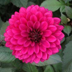 DAHLIA 'Purple Flame'® (Dahlia décoratif ) : Vivaces originaires du Mexique et d'Amérique centrale. Les différentes formes de fleurs et leurs sublimes coloris font du Dahlia un complément de décor indispensable aux massifs d'été et d'automne. Planter dans un sol riche et bien drainé, enterrer le tubercule sous 10 à 15 cm de terre. Dahlia décoratif (fleurs doubles sans disque central, pétales larges, aplatis). Feuillage pourpre. Fleurs violet rose très lumineux.