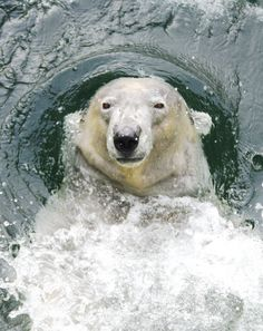 Polar Bear swimming and about to dive beneath the water.