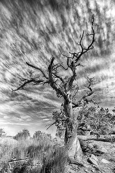 Dramatic Gnarly Tree...Moab, Utah