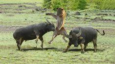 화난 버팔로 사자를 죽이다! Crazy Buffalo Attacks Lion! Wild Animals Videos, Love Spell Caster, Illustrations And Posters, Pet Birds, Lions, Buffalo, Safari, Youtube, Wildlife