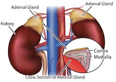 All SCIENCESS: Adrenals gland