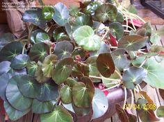 Pennywort Begonia