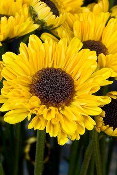 Yellow Viking Daisy Mums