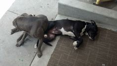ID#1249293  I am a male Pit Bull Terrier.  My finder says I am under 1 year old. I have the following characteristics: Young Pitbull, was found with an older Grey female.  Someone found me on 05/20/14. I was found at W 21st & Turril.