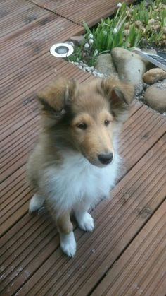 Rough Collie Emma im März 2014 Baby Animals, Cute Animals, The Perfect Dog, Herding Dogs, Rough Collie, Shetland Sheepdog, Wild Dogs, Sheltie, Beautiful Dogs