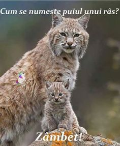 Tim Fitzharris/Minden Pictures - Bobcat (Lynx Rufus) Mother and Kitten, North America Big Cats, Cool Cats, Cats And Kittens, Nature Animals, Animals And Pets, Wild Animals, Beautiful Cats, Animals Beautiful, Gato Grande