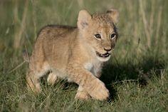 Cute lion cub - A cute lion cub on an early morning walk in the Masai Mara, Kenya