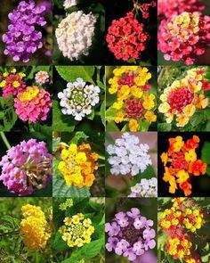 Lantana Bush, Lantana Flower, Lantana Plant, Garden Seeds, Garden Plants, Flowering Plants, Vegetable Garden, Flower Seeds, Flower Pots