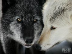 Black and white Wolf Mates, Shadow Wolf, Wolf Husky, Wolf Photography, Wolf Pictures, Animal Pictures, Wolf Love, Beautiful Wolves, Wolf Spirit